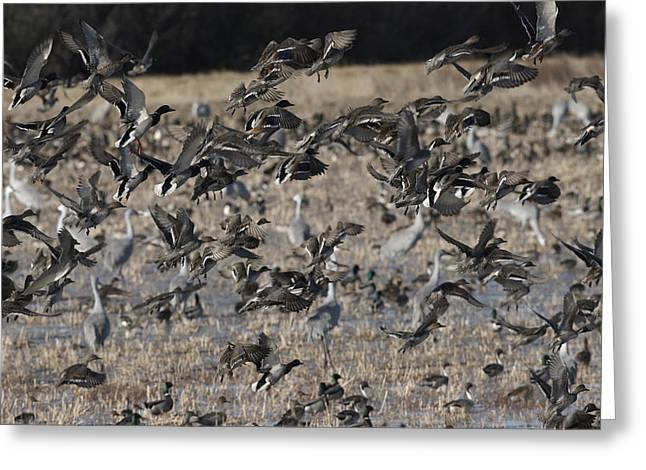 Hunting Bird Greeting Cards - Mallards Explode in Flight Greeting Card by Harold Stinnette
