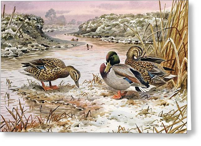 Mallards Greeting Cards - Mallards in a Quiet Corner Greeting Card by Carl Donner