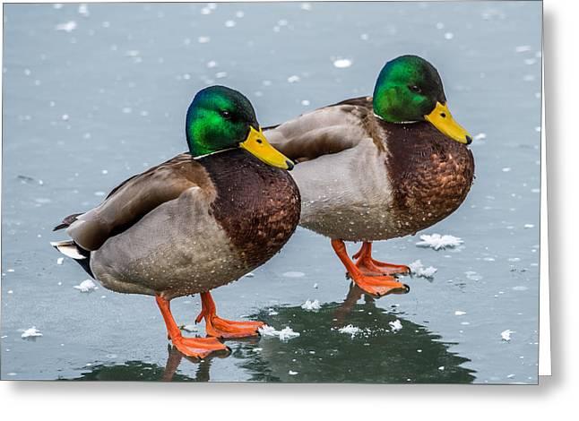 Mallards On Ice Greeting Card by Paul Freidlund