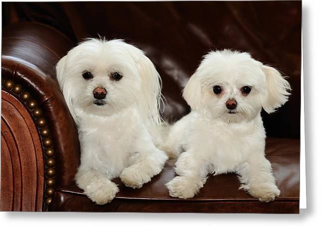 Maltese - Spa Day Greeting Card by Mike Hendren