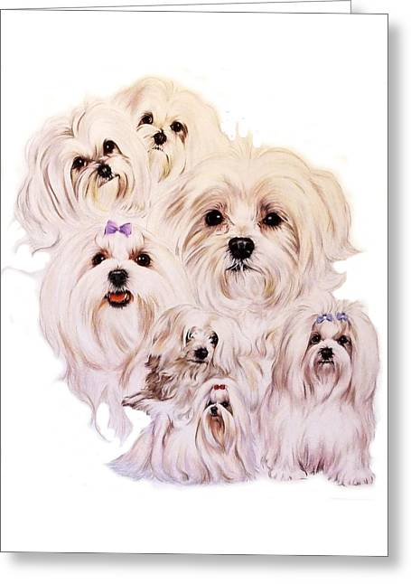 Toy Dog Greeting Cards - Maltese Greeting Card by Barbara Keith