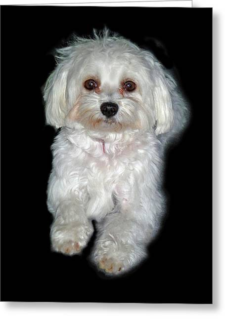 Toy Maltese Greeting Cards - Maltese Terrier Puppy Greeting Card by Kenneth William Caleno