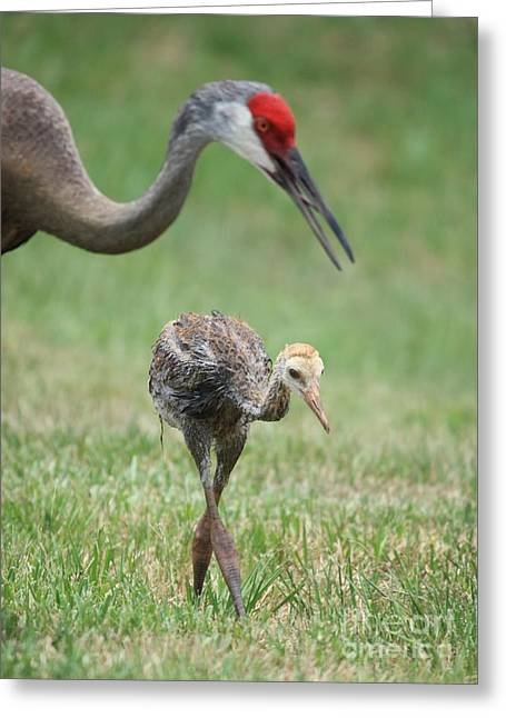 Juvenile Birds Greeting Cards - Mama and Juvenile Sandhill Crane Greeting Card by Carol Groenen