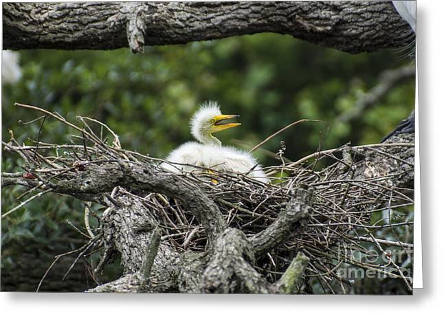 Hungry Chicks Greeting Cards - Mama  Greeting Card by Kathy Flugrath Hicks