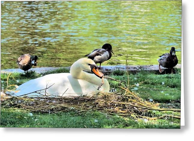 Water Fowl Greeting Cards - Mama Swan Greeting Card by Elizabeth Dow