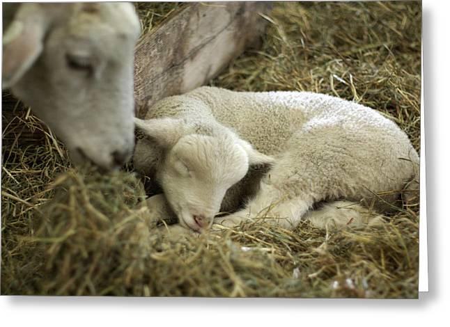 Sleeping Baby Animal Greeting Cards - Mamas Lil Lamb Greeting Card by Linda Mishler