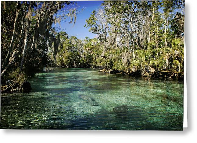 Aquatic Greeting Cards - Manatee In Crystal River Florida Greeting Card by Steve Hildebrand