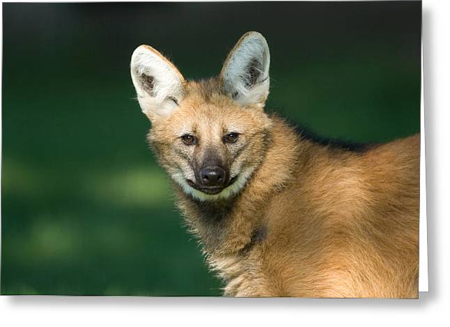 Sunset Zoo Greeting Cards - Maned Wolf Chrysocyon Brachyurus Greeting Card by Joel Sartore