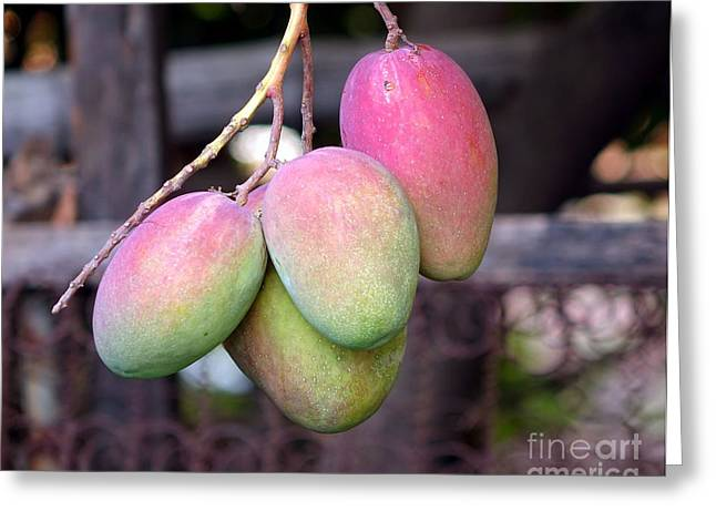 Mango Greeting Cards - Mango Fruits on a Tree Greeting Card by Yali Shi