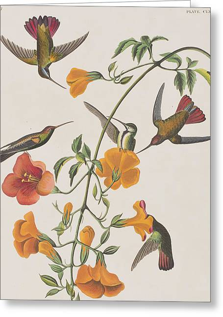 Humming Birds Greeting Cards - Mango Humming Bird Greeting Card by John James Audubon
