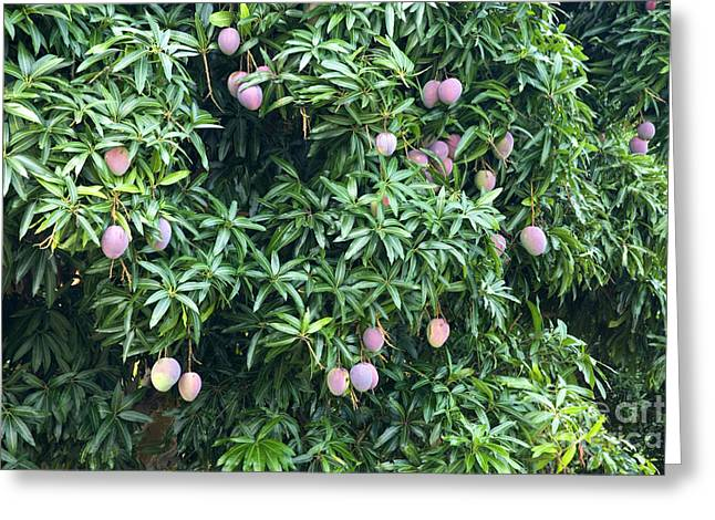 Mango Greeting Cards - Mango Tree Greeting Card by Inga Spence