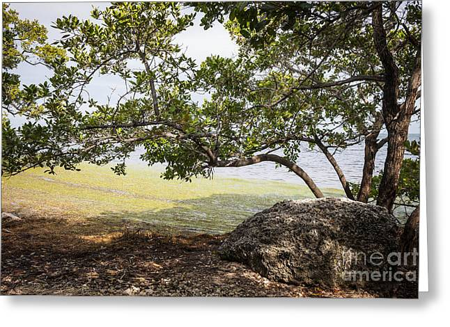 Mangrove Forest Greeting Cards - Mangrove forest Greeting Card by Elena Elisseeva