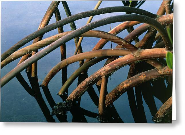 Mangrove Greeting Cards - Mangrove Roots In A Swamp In Hawaii Greeting Card by G. Brad Lewis