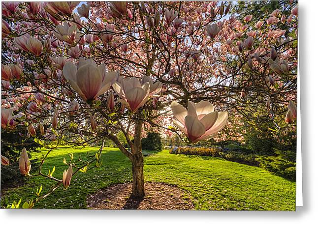 Manito Magnolia In Bloom Greeting Card by Mark Kiver