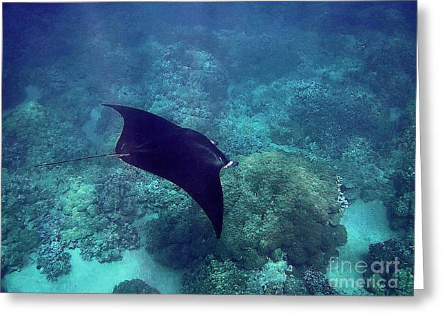Manta Rays Greeting Cards - Manta Ray Gliding over Reef Greeting Card by Bette Phelan