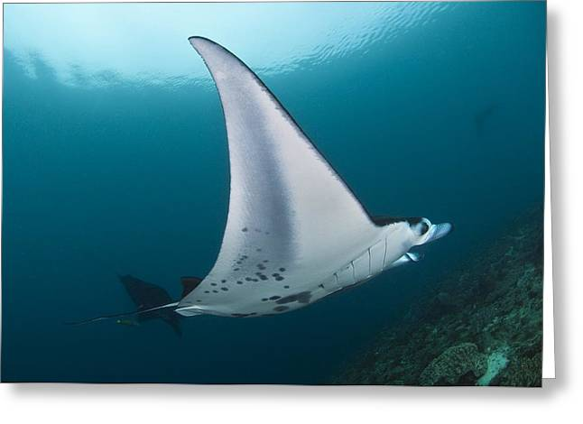 Indonesian Wildlife Greeting Cards - Manta Ray Greeting Card by Matthew Oldfield