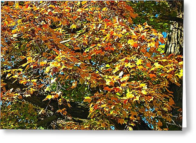 Fall Colors Greeting Cards - Maple Seeding  Greeting Card by Doug Morgan