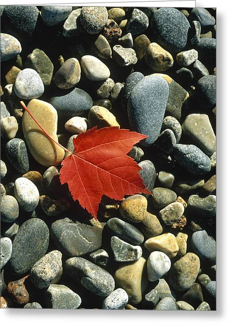 Leaves Changing Greeting Cards - Maple Leaf On Pebbles Greeting Card by Panoramic Images