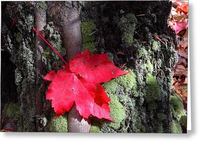 Charles Warren Greeting Cards - Maple Leaf Still Life Greeting Card by Charles Warren