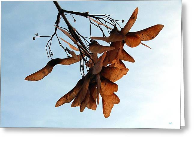 Thrive Greeting Cards - Maple Seeds Greeting Card by Will Borden