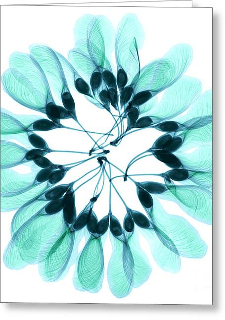 See-through Greeting Cards - Maple Seeds X-ray Greeting Card by Ted Kinsman