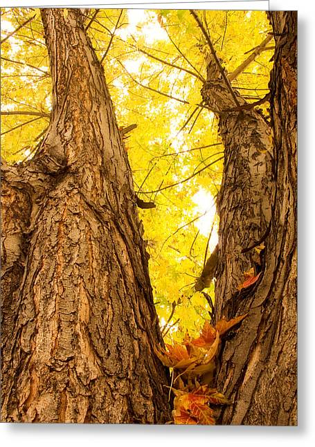 Maple Tree 3 Greeting Card by James BO  Insogna