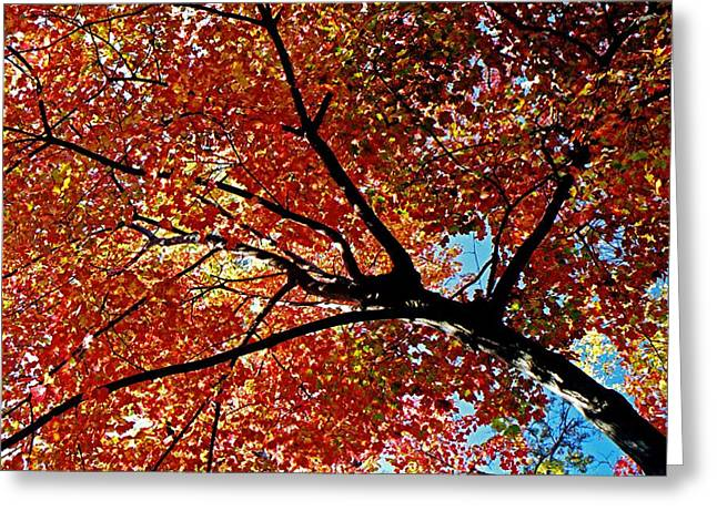 Herbst Greeting Cards - Maple Tree in Autumn Glow Greeting Card by Juergen Roth