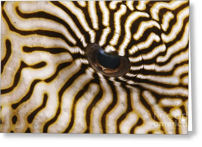 Puffer Greeting Cards - Mappa Pufferfish Eye Greeting Card by Steve Rosenberg - Printscapes