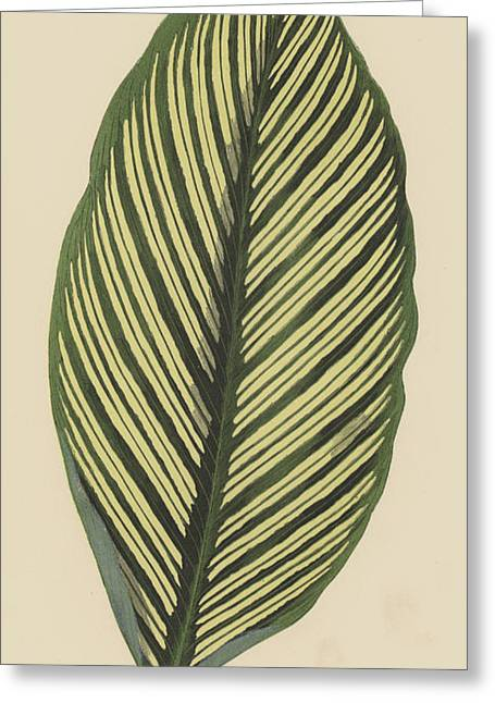 Maranta Vittata Greeting Card by English School