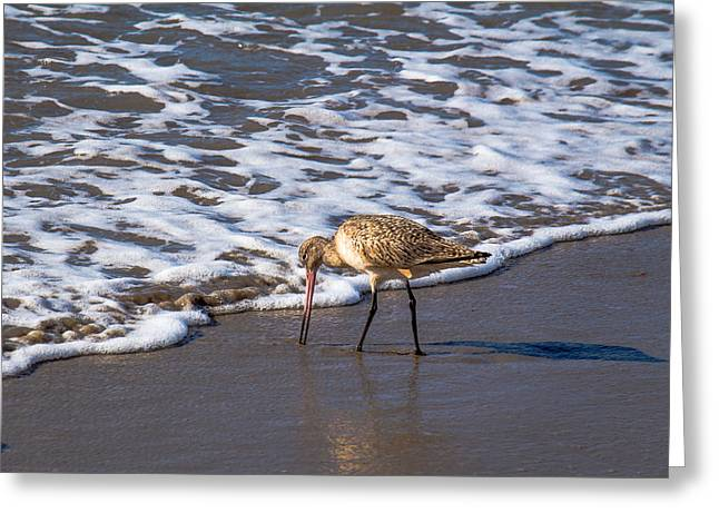 Ventura California Greeting Cards - Marbled Godwit Feeding Greeting Card by Danny Goen