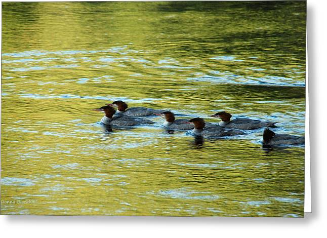 Flocks Of Ducks Greeting Cards - March Of The Mergansers Greeting Card by Donna Blackhall