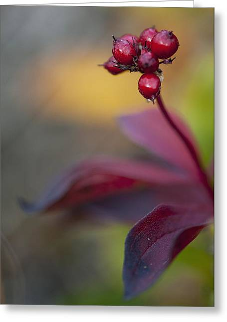 Harts Greeting Cards - Marco Of High Bush Cranberries In Fall Greeting Card by Cathy Hart