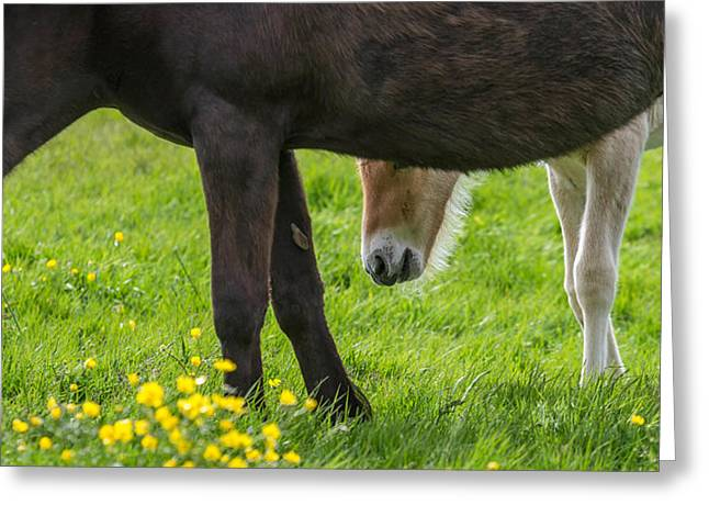 Domesticated Flower Greeting Cards - Mare And New Born Foal Grazing, Iceland Greeting Card by Panoramic Images