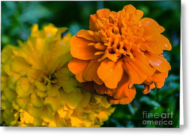 Orange Tapestries - Textiles Greeting Cards - Marigold 1 Greeting Card by James Hennis