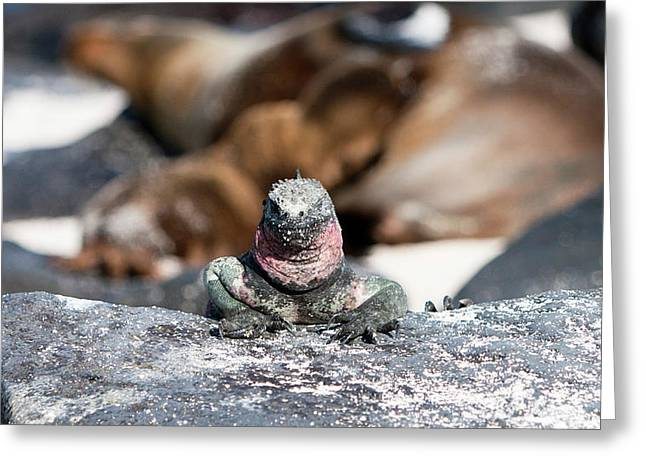 Marine Iguana Amongst The Sea Lions Greeting Card by Robert Selin