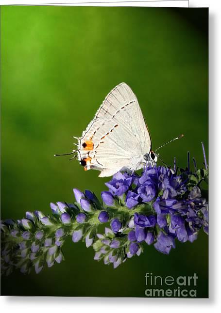 Jeannie Burleson Greeting Cards - Marius Hairstreak Butterfly Greeting Card by Jeannie Burleson