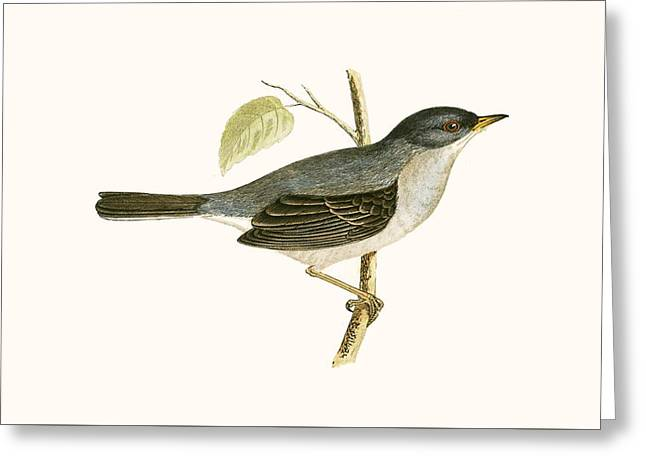Marmora's Warbler Greeting Card by English School