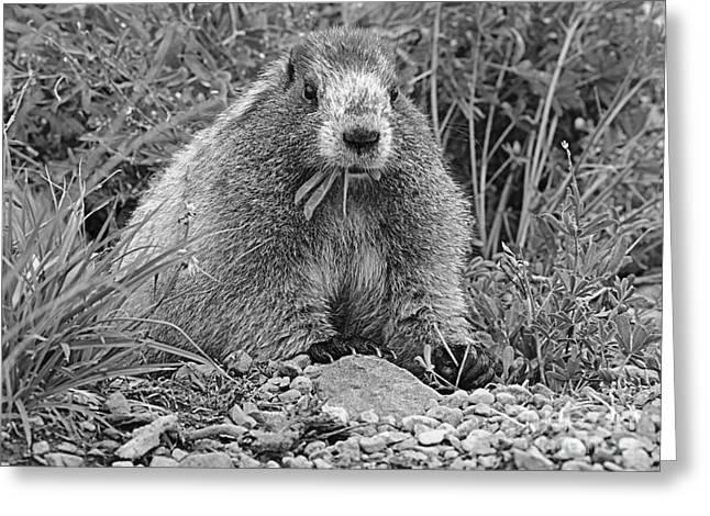 Marmot Eating Salad Bw Greeting Card by Marv Vandehey