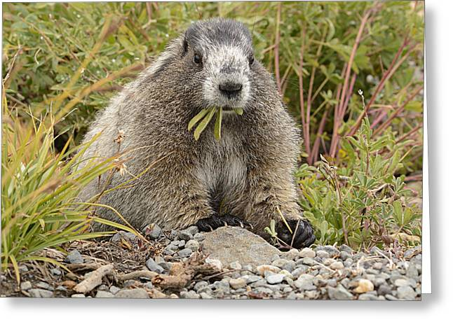 Marmot Eating Salad Greeting Card by Marv Vandehey