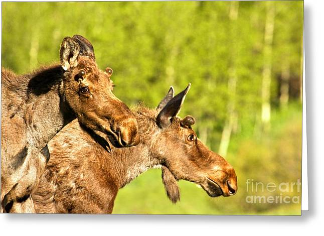 White River Greeting Cards - Maroon Bells Moose Pair Greeting Card by Adam Jewell