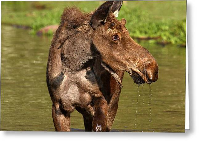 Moose In Water Greeting Cards - Maroon Bells Moose Portrait Greeting Card by Adam Jewell