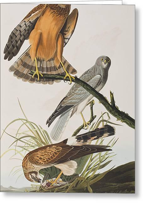 Marsh Hawk Greeting Card by John James Audubon