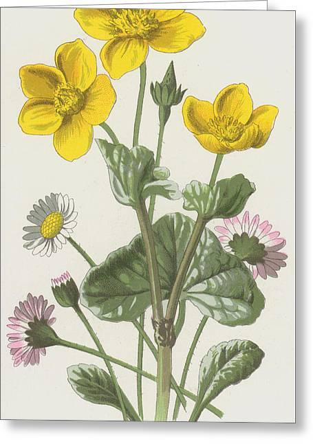 Marsh Marigold And Daisy Greeting Card by Frederick Edward Hulme