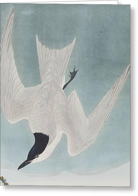 Marsh Tern Greeting Card by John James Audubon