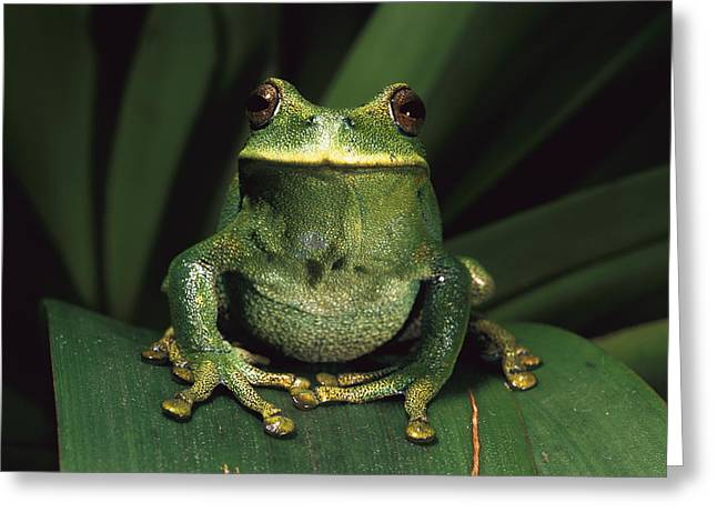 Frogs Photographs Greeting Cards - Marsupial Frog Gastrotheca Orophylax Greeting Card by Pete Oxford