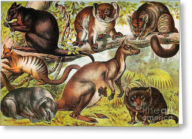 Koala Art Greeting Cards - Marsupials Greeting Card by Biodiversity Heritage Library