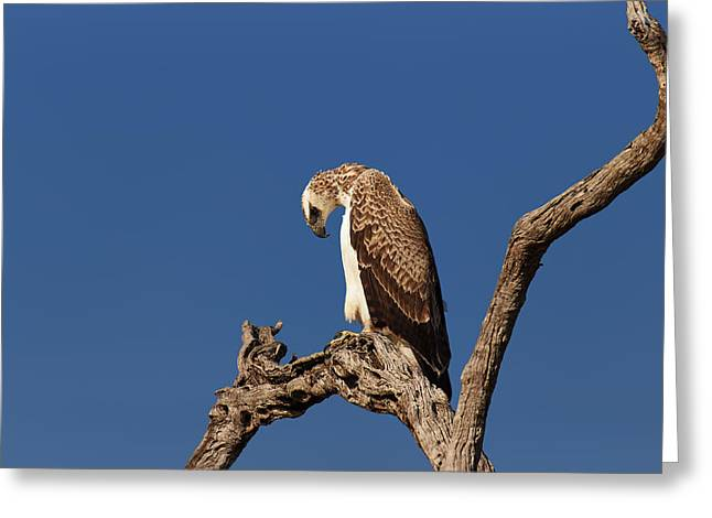 Martial Eagle Greeting Card by Johan Swanepoel