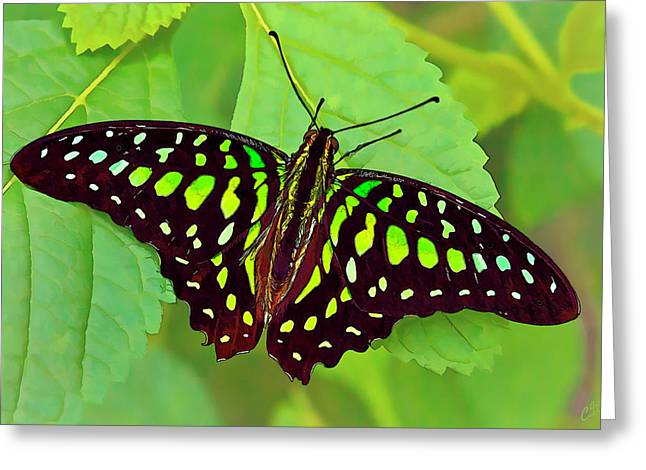 Square Format Greeting Cards - Marvelous Malachite Butterfly 2 Greeting Card by Bill Caldwell -        ABeautifulSky Photography