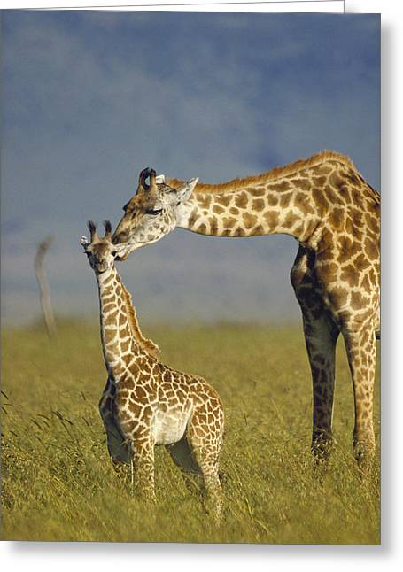 Three-quarter Length Greeting Cards - Masai Giraffe Mother And Young Kenya Greeting Card by Tim Fitzharris