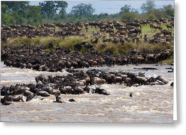 Masai Mara The Great Migration Greeting Card by Paco Feria